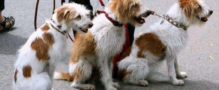 Dog Leads - What's Best for Your Dog? - Multiple Dog Leads