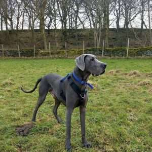 Perfect Fit Great Dane Harness Review