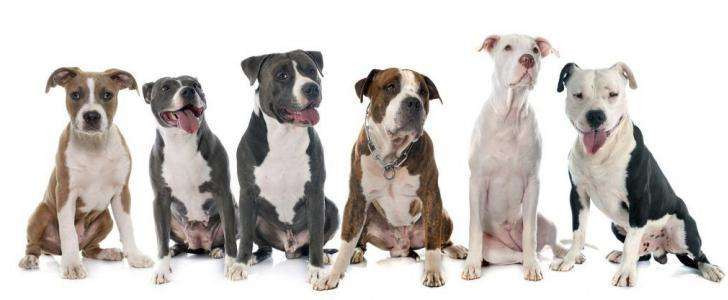 six american staffordshire terrier