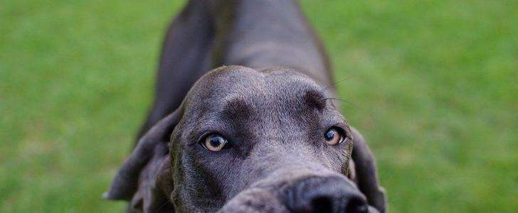 Best Dog Harness for Great Dane - Our Top 6