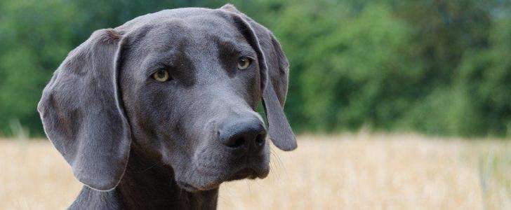 What is the Best dog Harness for a Weimaraner