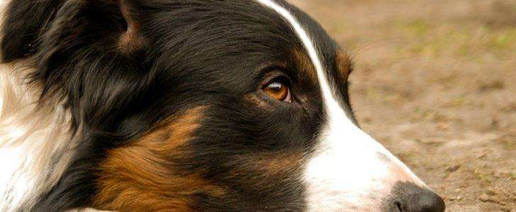Border Collie Harness - Collie at rest