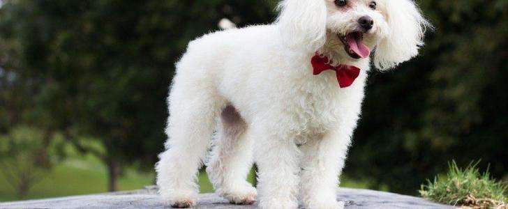 Different Types of Poodle Hair Clipping Styles