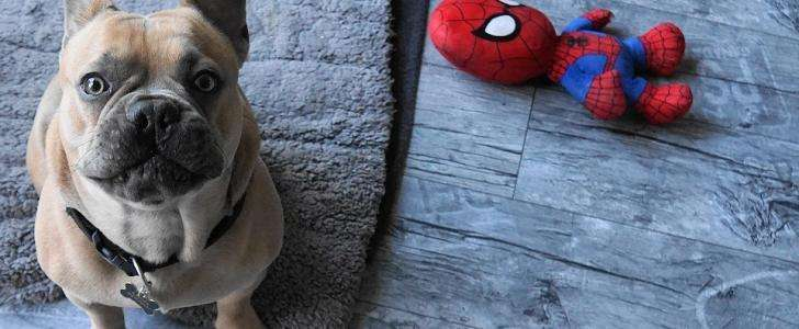 Best Types of French Bulldog Harnesses