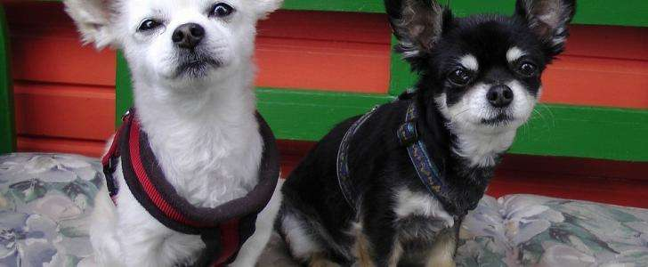 Our 6 Best Harnesses for Chihuahuas