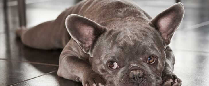 French Bulldog Best Harness - Types of Harness and Sizes