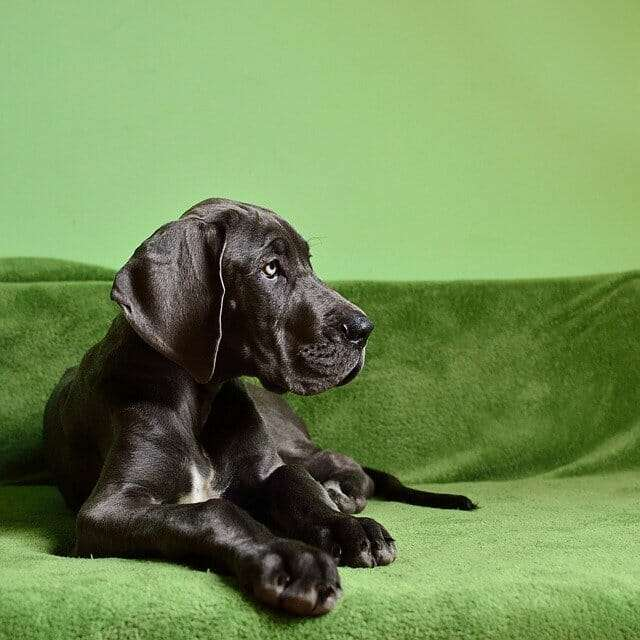 What to Look for in Great Dane Food