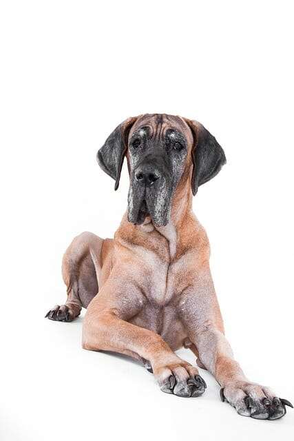 How Much Dog Food Does Great Dane Eat