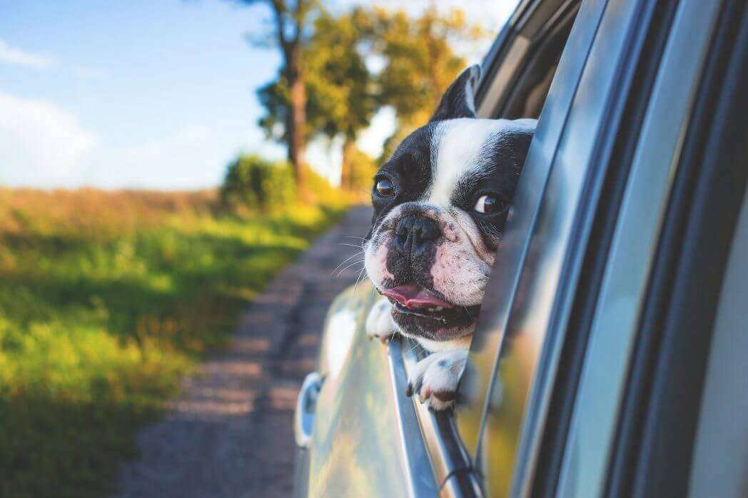 Dog Seat Belts vs. Car Harnesses for Dogs