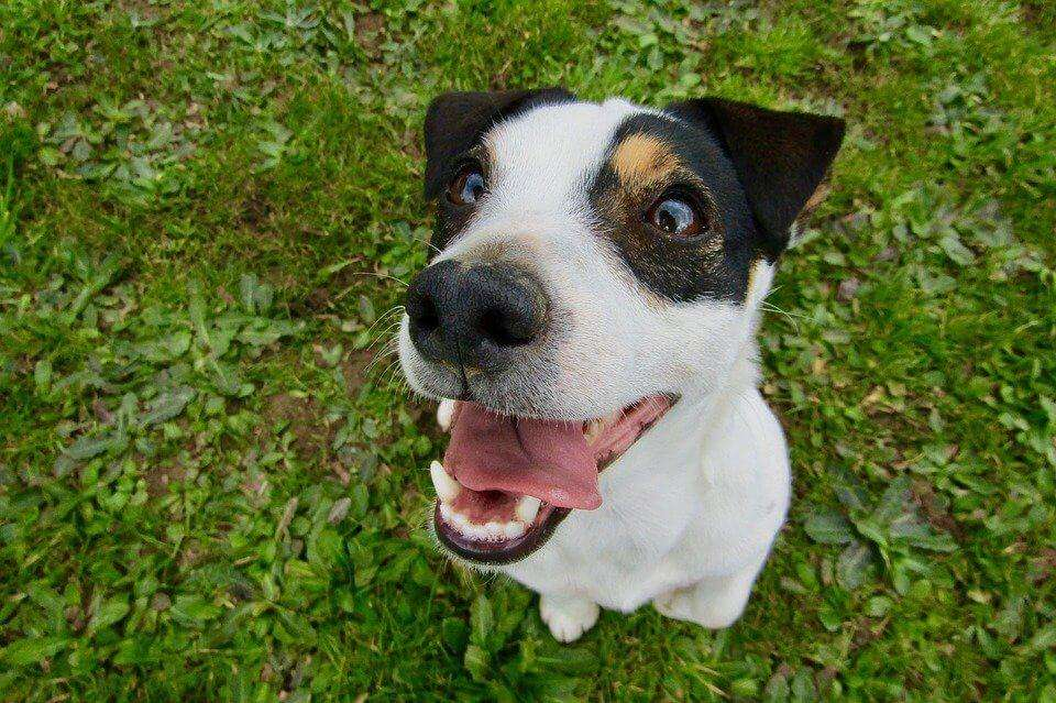 6 Best Jack Russell Harness – Tried and Tested