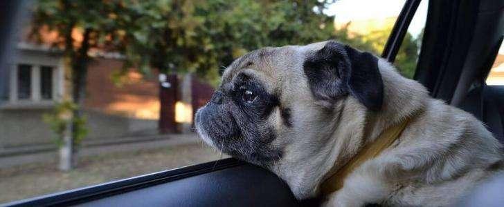 Dog Seat Belt vs. Dog Car Harness - Pug In Car