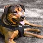 Dog Harness Perfect Fit -Measuring, fitting and using your dog harness