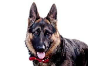 Our top 6 Best Harnesses for a German Shepherd