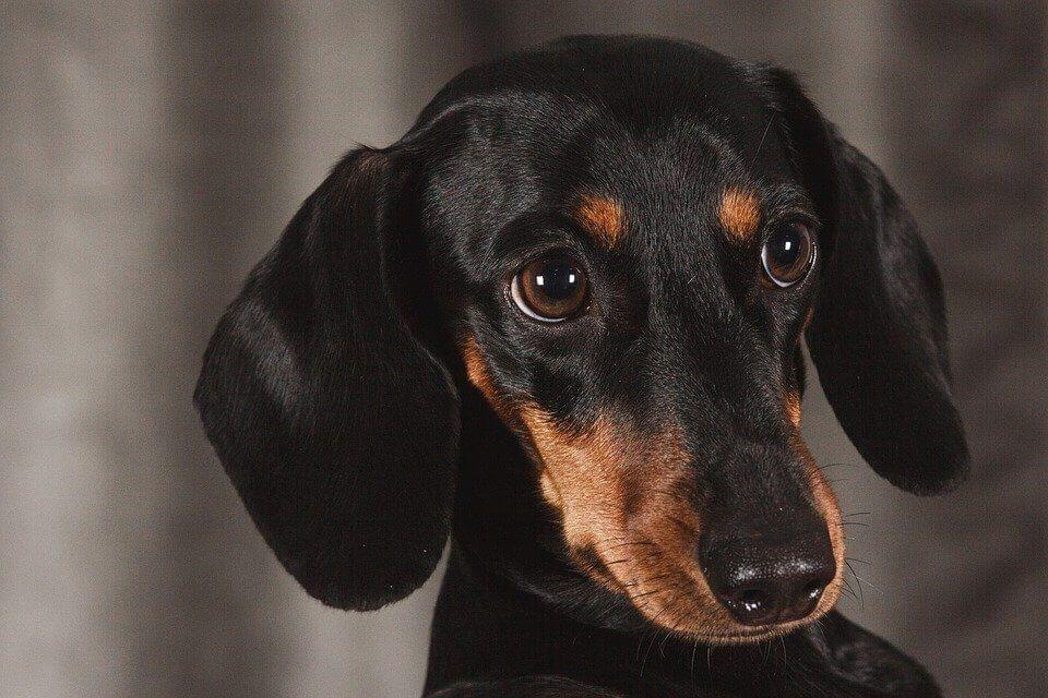 Best Harness for a Dachshund (Our Top 8 Dog Harnesses for 2019)