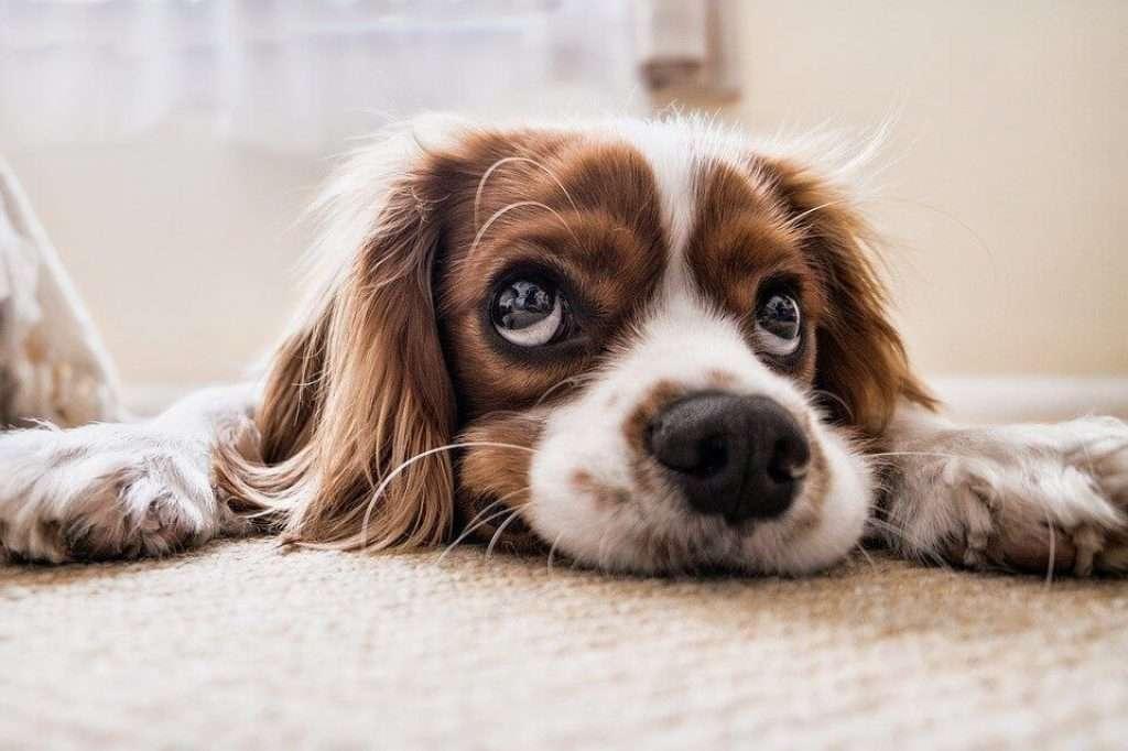 Cavalier Dog - Outro