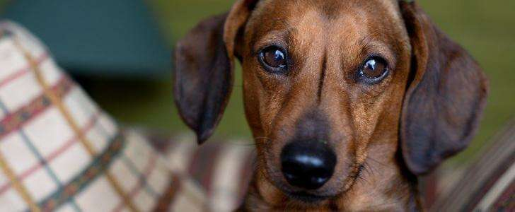 Best Harness for a Dachshund (Our Top 7 Dog Harnesses for 2019)