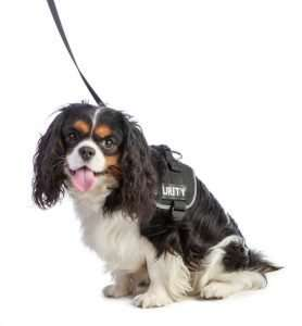 Cavalier king Charles spaniel with harness on white background