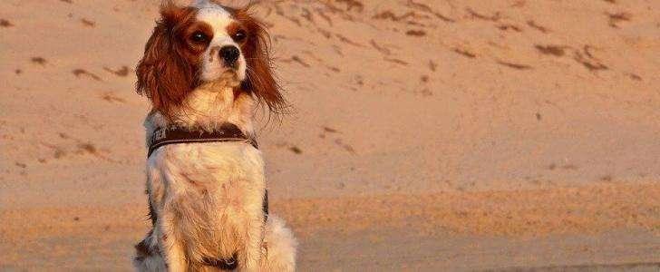 Cavalier wearing a dog harness