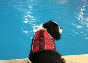 Felix at Swimming Pool in Life Jacket - Best Dog Life Jacket