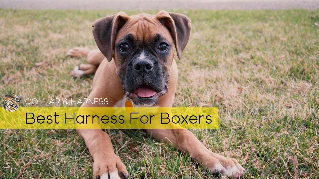 Best Boxer Dog Harness