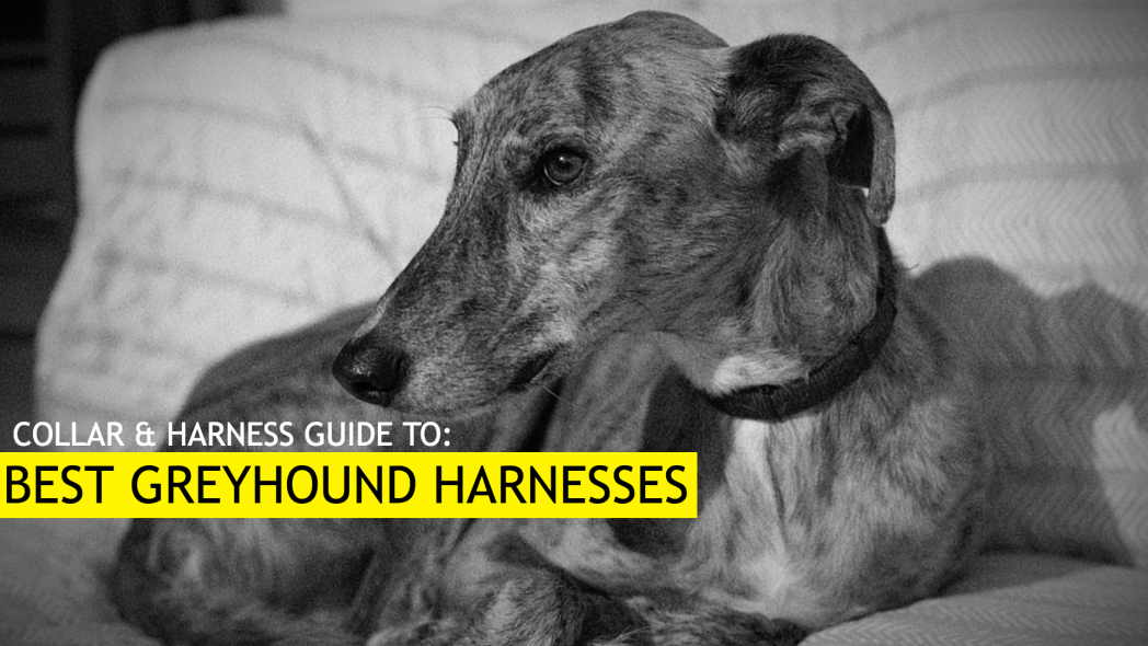 Best Harness for Greyhounds