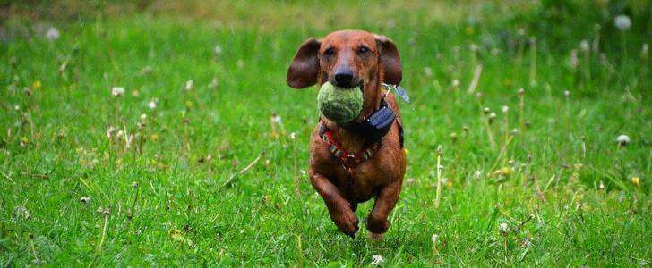 Best Harness For Dachshunds - Our Top Eight