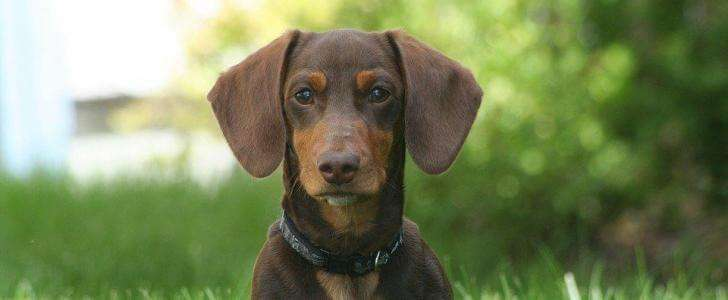 Best Dog Harness for a Miniature Dachshund
