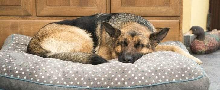 Beautiful German Shepard dog sleeping in a comfy bed