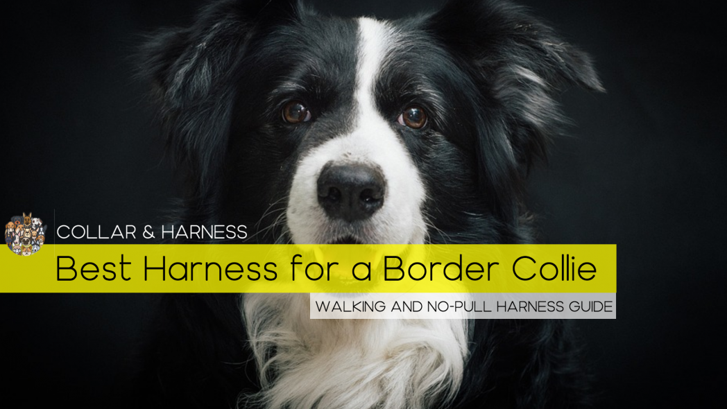 Best Harness for a Border Collie - Our Top 7 Picks - Reviewed