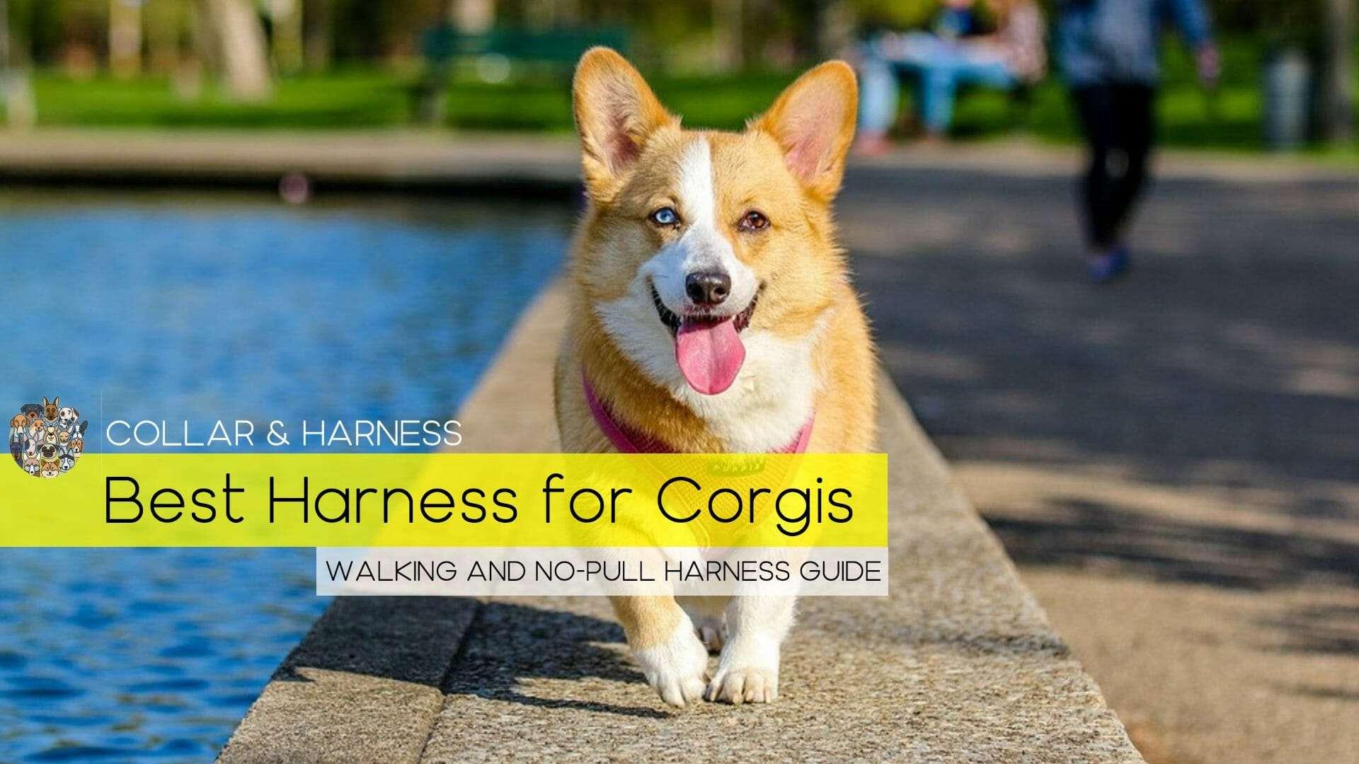 best harness for corgi
