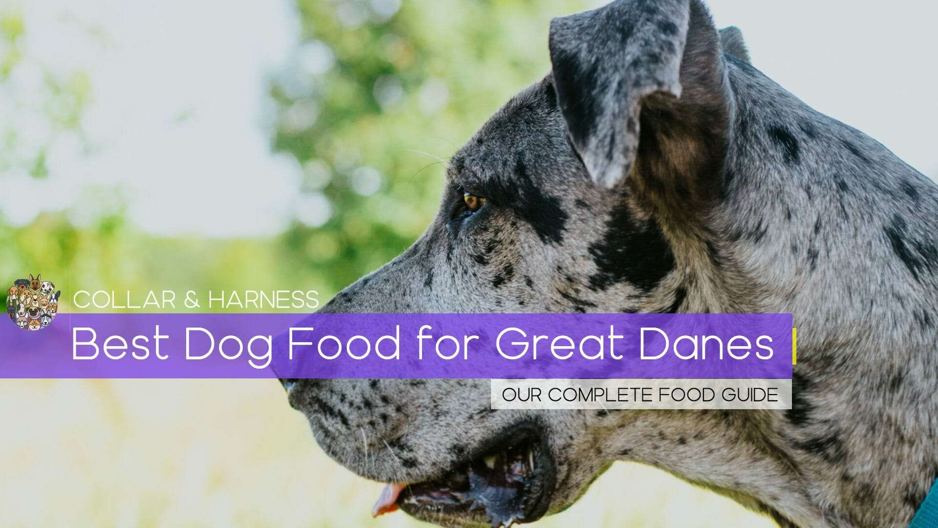 Best Dog Food for Great Danes - Our Complete Guide