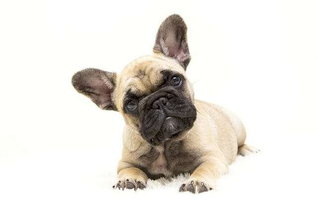 dogs, the french bulldog, dog