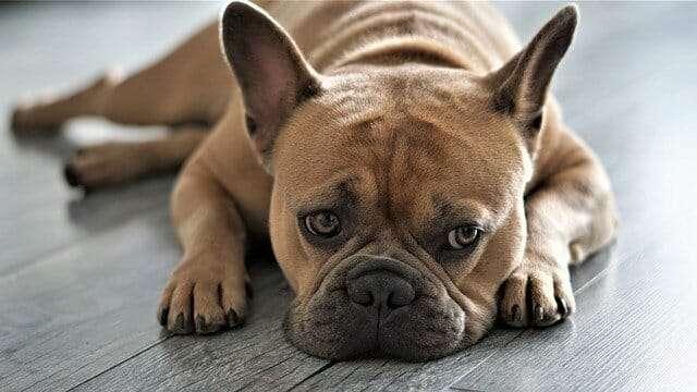 french bulldog, dog, pet