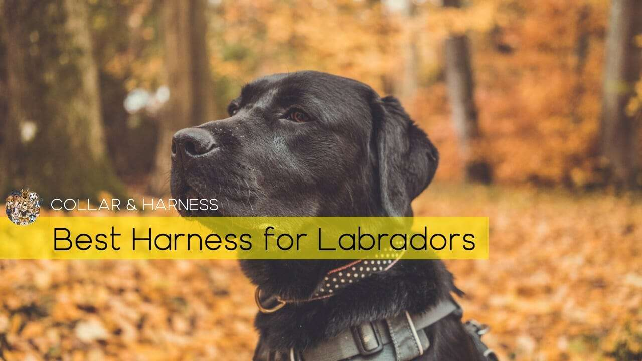 best-harness-for-labrador