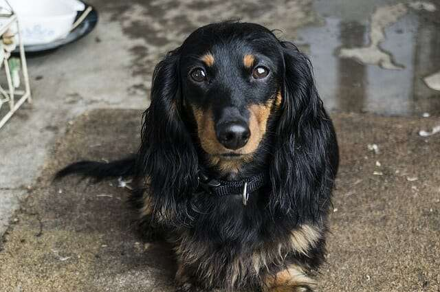 dog, dachshund, pet