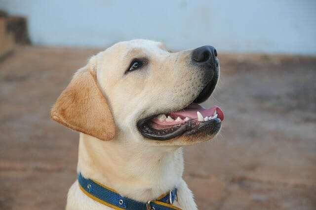 dog, labrador, canine