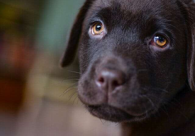 young, labrador, puppy