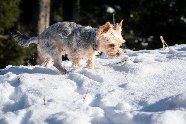 dog, yorkshire terrier, winter