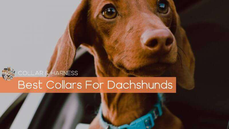 Best Collars for Dachshunds