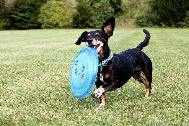 dachshund, frisbee, dog