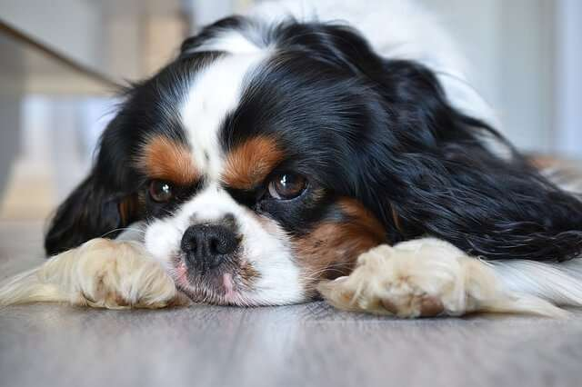 dog, cavalier king charles, animal