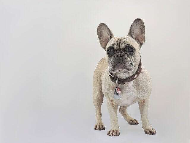 french bulldog, dog, collar