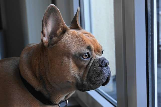 french bulldog, dog, view, collar
