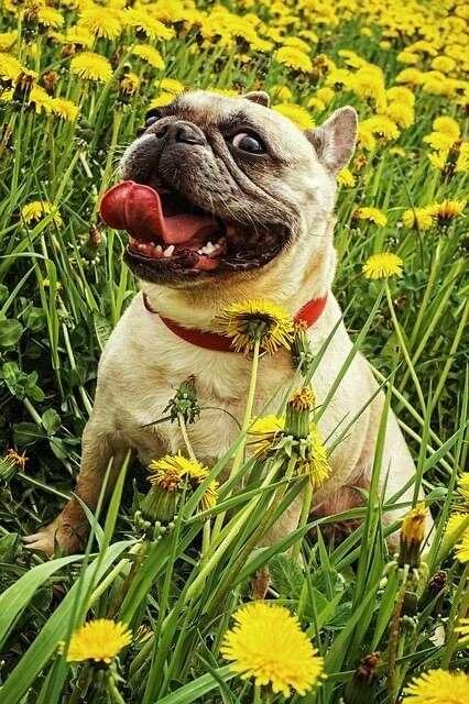 gerda, dandelion, nature