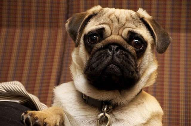pug, dog, portrait