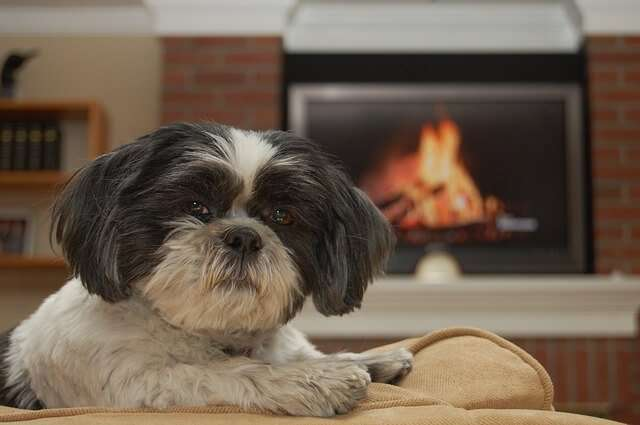 shih-tzu, dog, pet