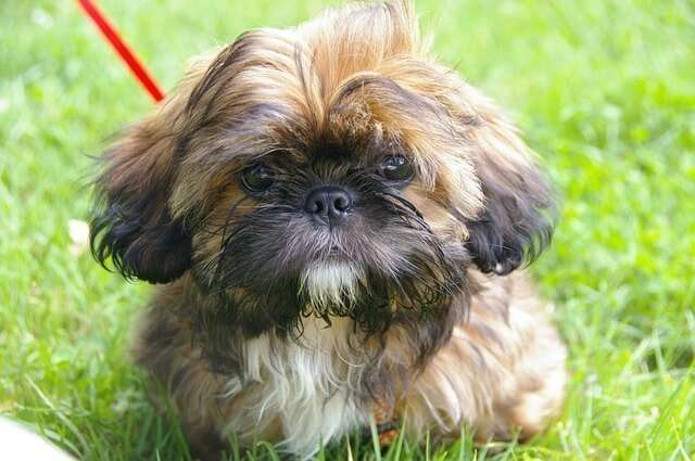 Shih Tzu on leash and harness
