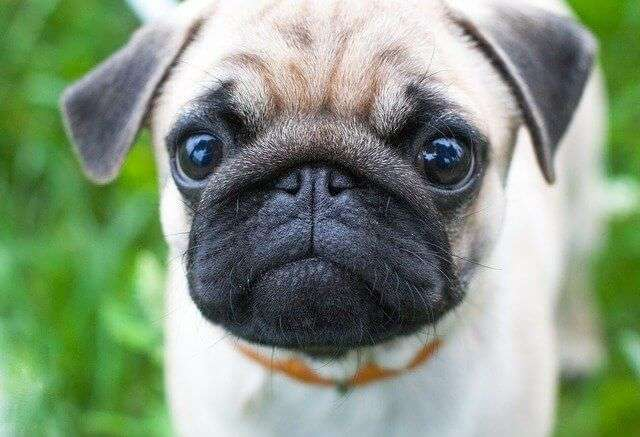 dog, cute, animal pugs