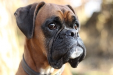 Our 6 Best Boxer Dog Harnesses for 2019