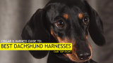 8 Best Harnesses for a Dachshund (Our Dachshund Harness Picks for 2019)